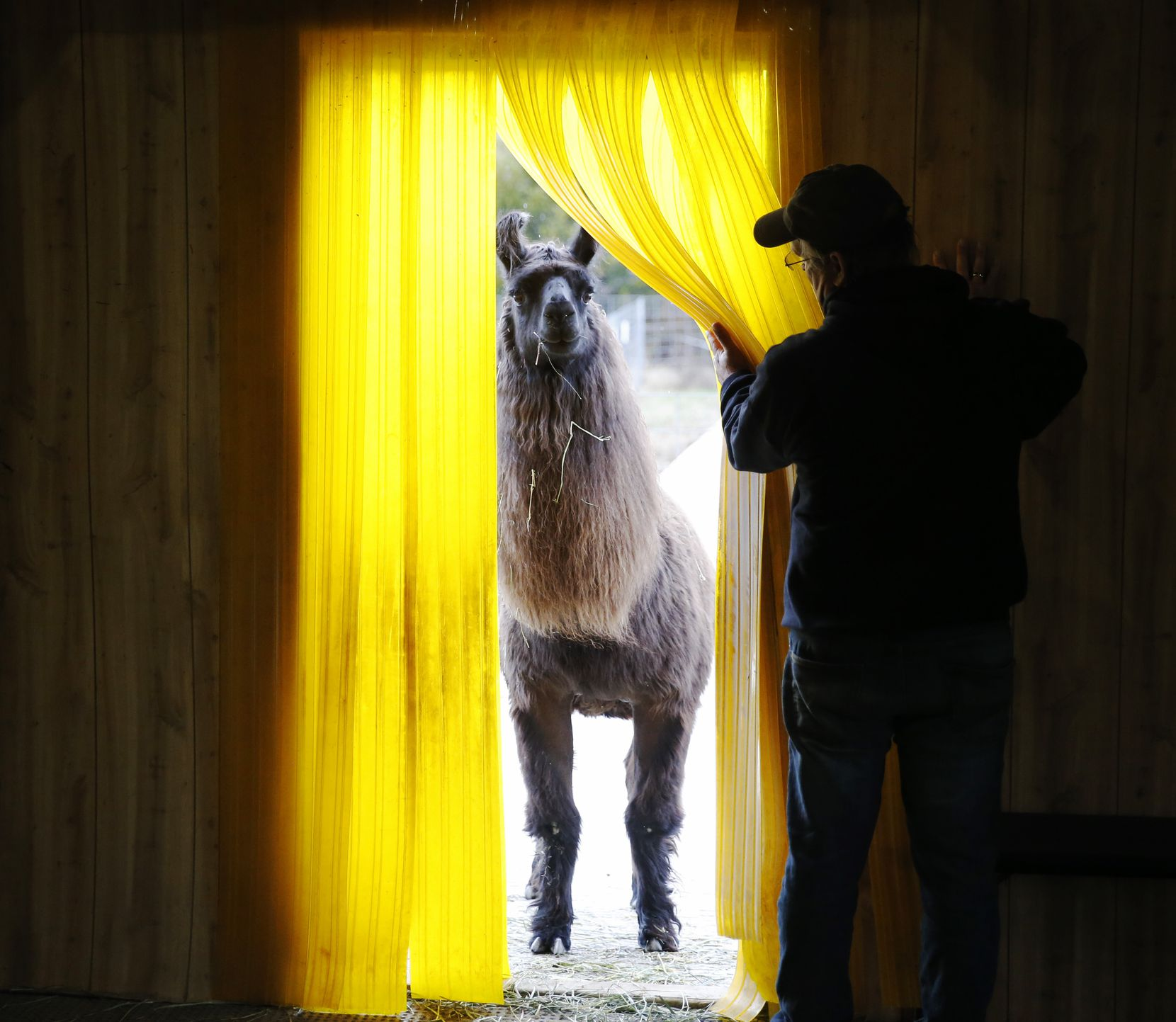 Barack O'Llama prepared to enter the barn as Paul Brucato assisted at ShangriLlama Castle in Royse City in February. The facility offers a variety of activities, including llama walks, llama lessons and castle-themed weddings.