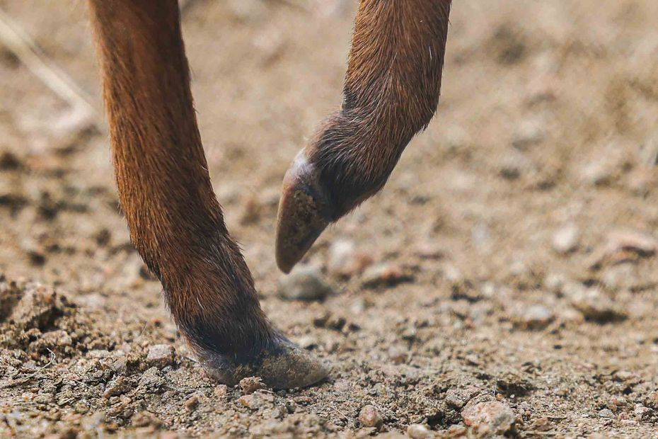 The hooves of Viazi, the father to the newest a blue duiker born at the Dallas Zoo.