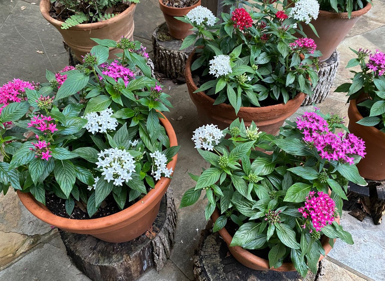 Pentas can be planted in containers to add a splash of summer color. The easy-to-grow annuals are available in many colors and sizes, and they bloom all summer long.