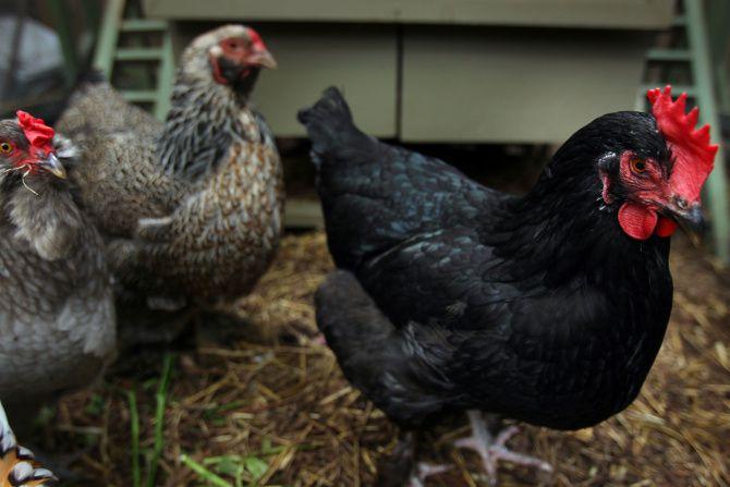 Garland, como Dallas, permite tener gallinas dentro de los límites de la ciudad. Estas gallinas fueron fotografiadas el 28 de marzo de 2012 en un patio de Dallas lleno de plantas, flores, un estanque y un corral de gallinas. Su dueña Mariana Greene fue escritora del Dallas Morning News. (Mona Reeder / Staff Photographer)