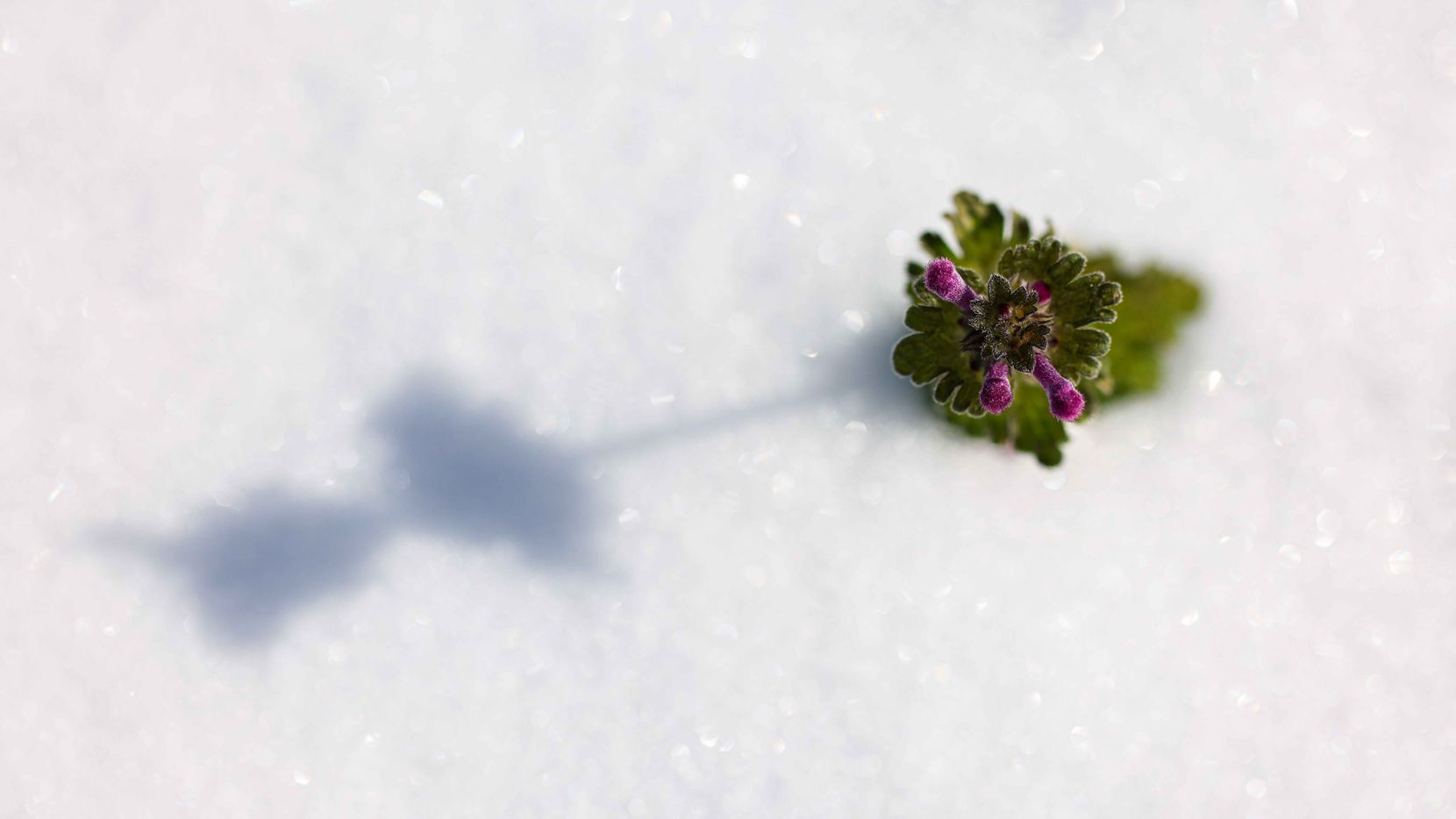 A tiny flower sticks out of the snow as a winter storm brings freezing temperatures to North Texas on Monday in Dallas.