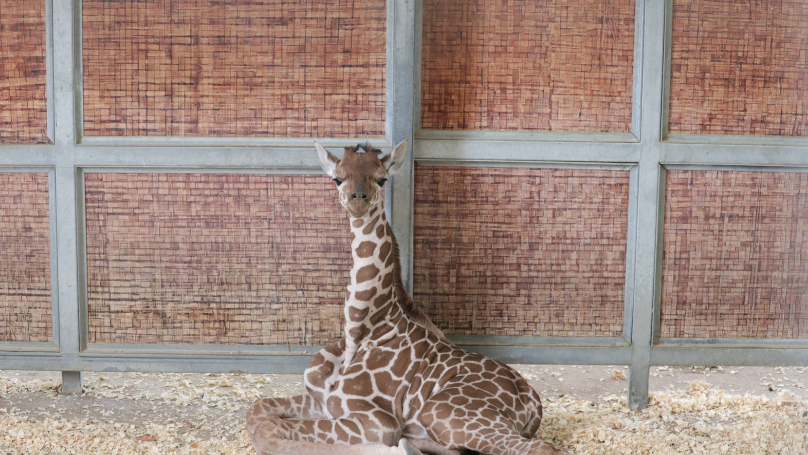 The Dallas Zoo's newest giraffe calf is set to make her public debut on Thursday, July 8, 2021.