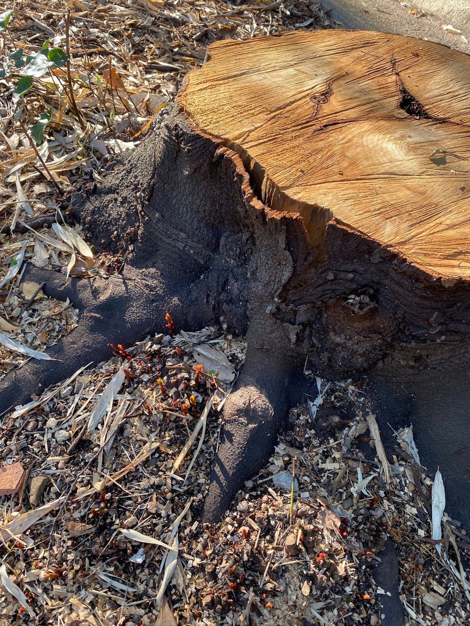 Howard Garrett's 35-year-old bay tree was lost to the freeze, but shoots are emerging from the stump.