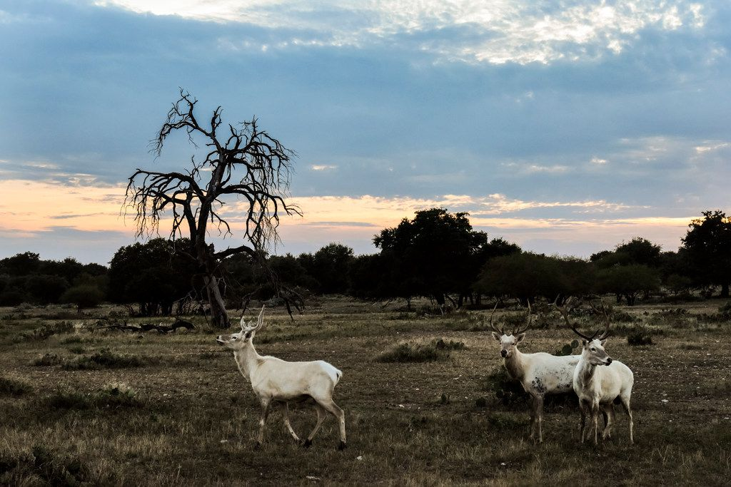 White stags and white elk graze at sunset on the Ox Ranch in Uvalde, Texas, Aug. 17, 2017. In the hill country outside San Antonio, the safari-style world of rare and endangered species symbolizes the popularity and controversy of exotic game hunting.
