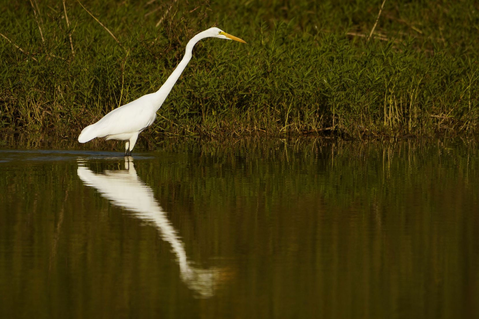 A great egret is seen in the Great Blue Heron Pond at Trinity River Audubon Center in Dallas.