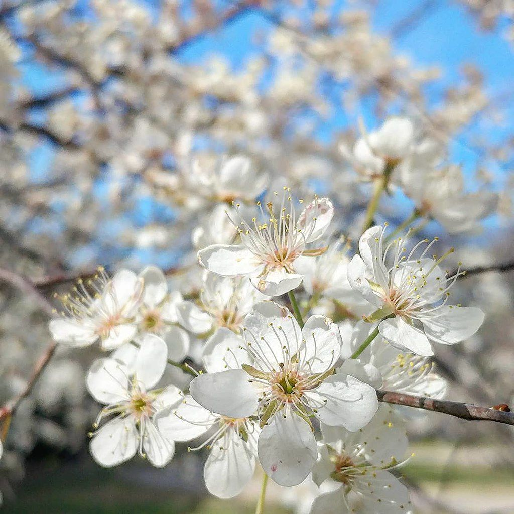 Mexican plum trees have showy white blossoms.