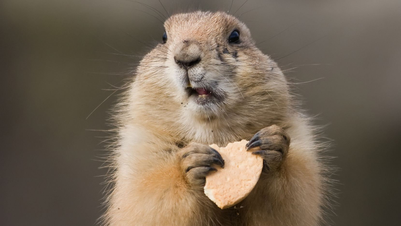 A groundhog eating a biscuit