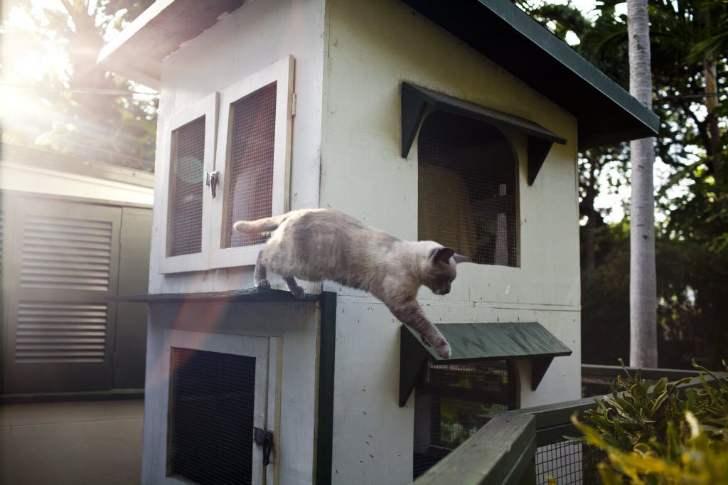 The cat Clark Gable leaps onto a fence at the Ernest Hemingway Home and Museum in Key West, Fla., Dec. 14, 2012.
