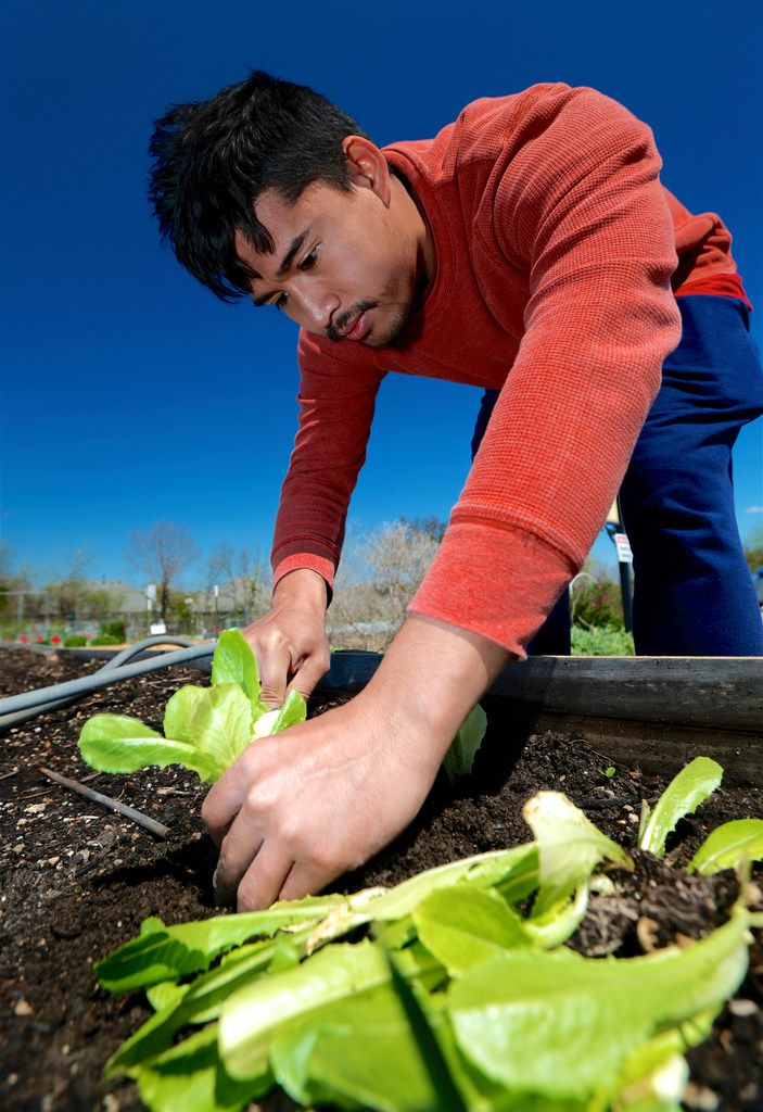 Htun Htun plants lettuce in a raised garden bed at the Lake Highland Community Garden in Dallas.