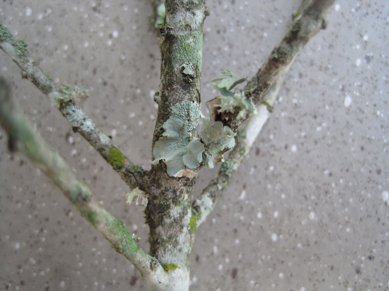 Lichen is decorative and is not a problem for your garden.