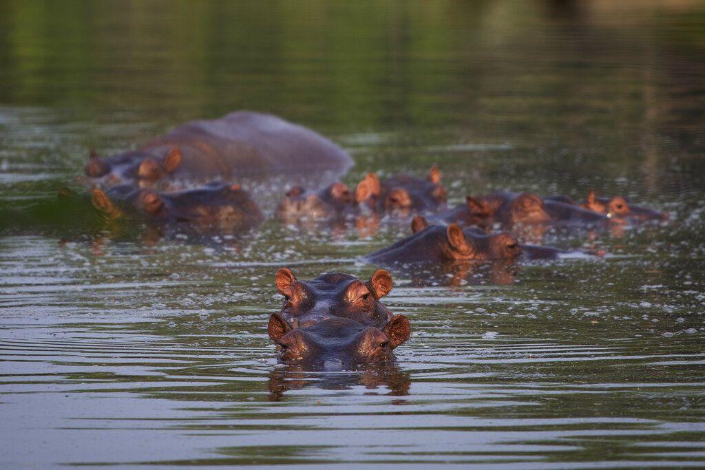 Hipopótamos bañándose en un lago del Parque Tamático Hacienda Nápoles en Puerto Triunfo, Colombia, el 12 de febrero del 2020. (AP Photo/Iván Valencia)