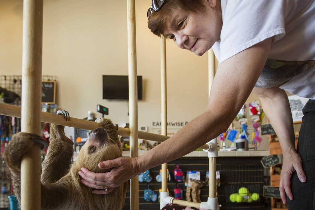 Store owner Deana Otis pets Sandy the sloth at EarthWise Pet Supply. Sandy lives in a special enclosure at the shop. (Smiley N. Pool/Staff Photographer)