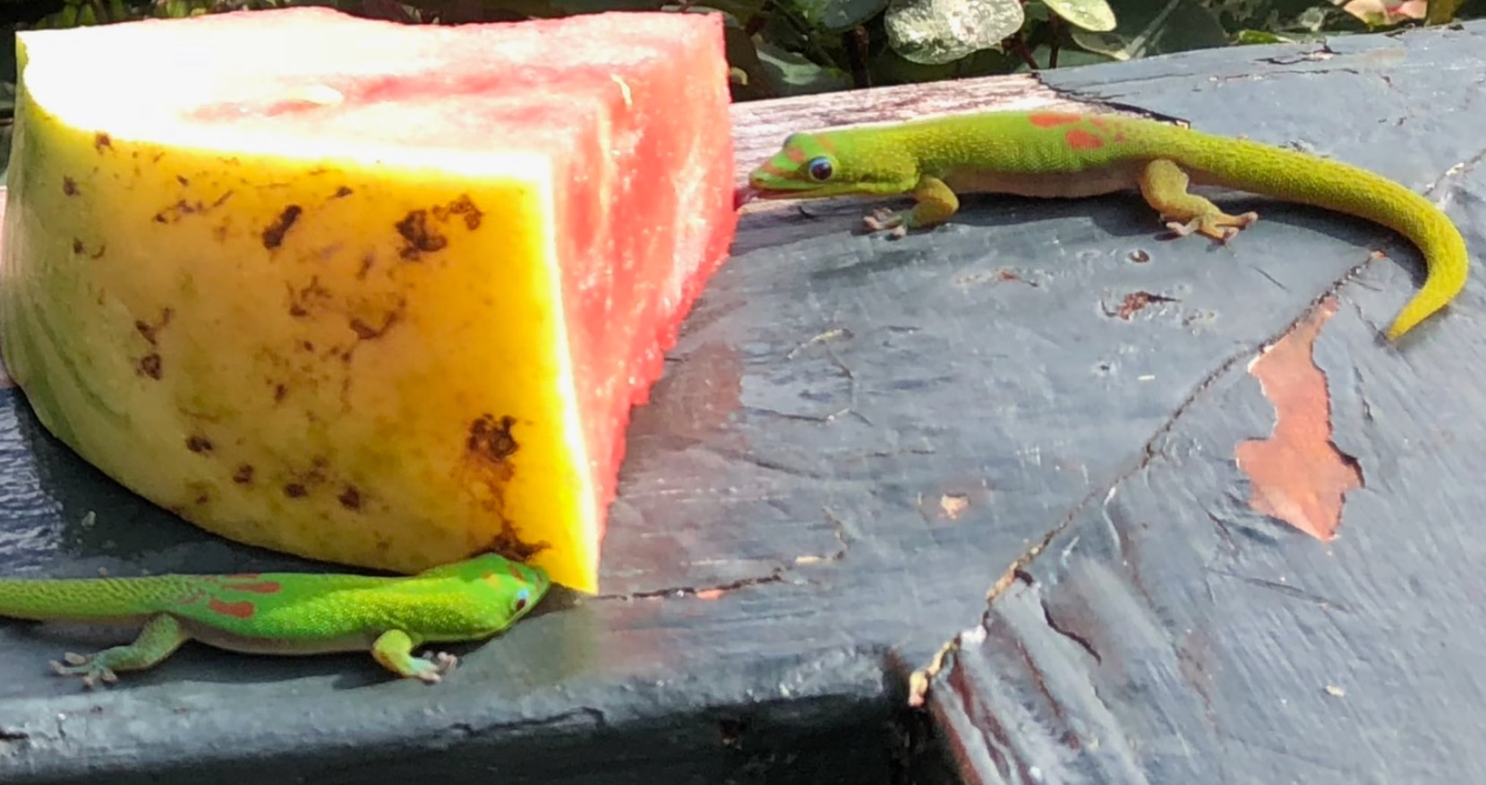 Gold Dust Geckos enjoy licking the dew from this slice of watermelon.