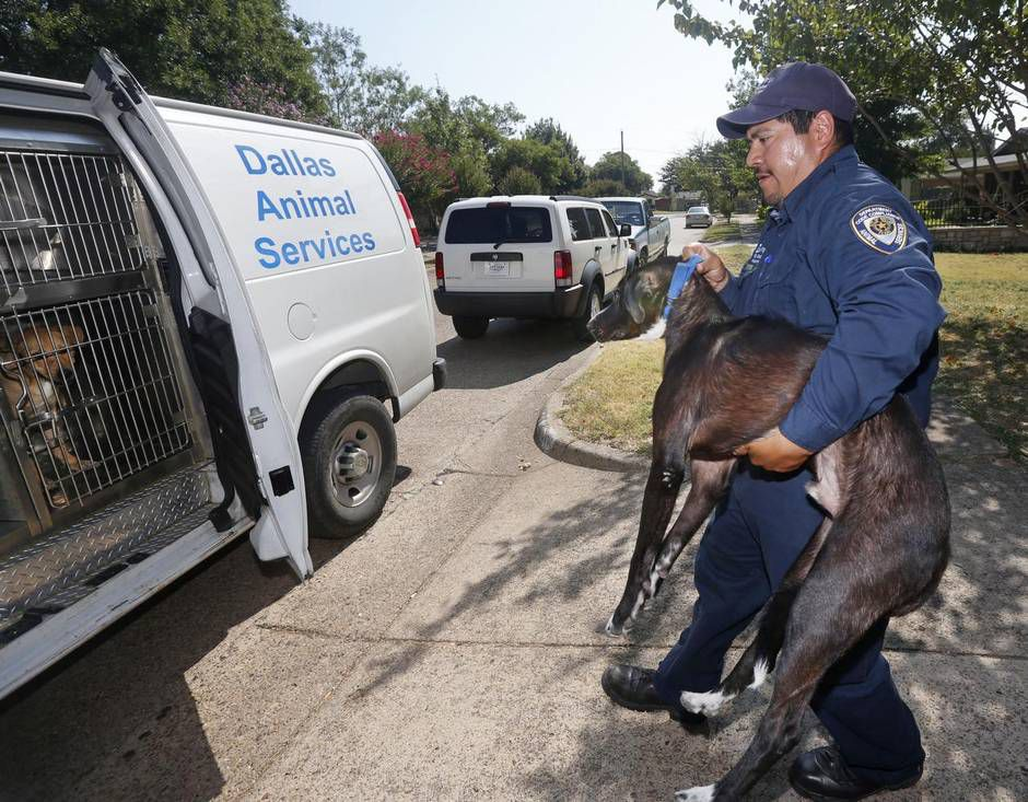Dallas Animal Services officer Esteban Rodriguez loaded up a dog found loose in southwest Dallas last month.