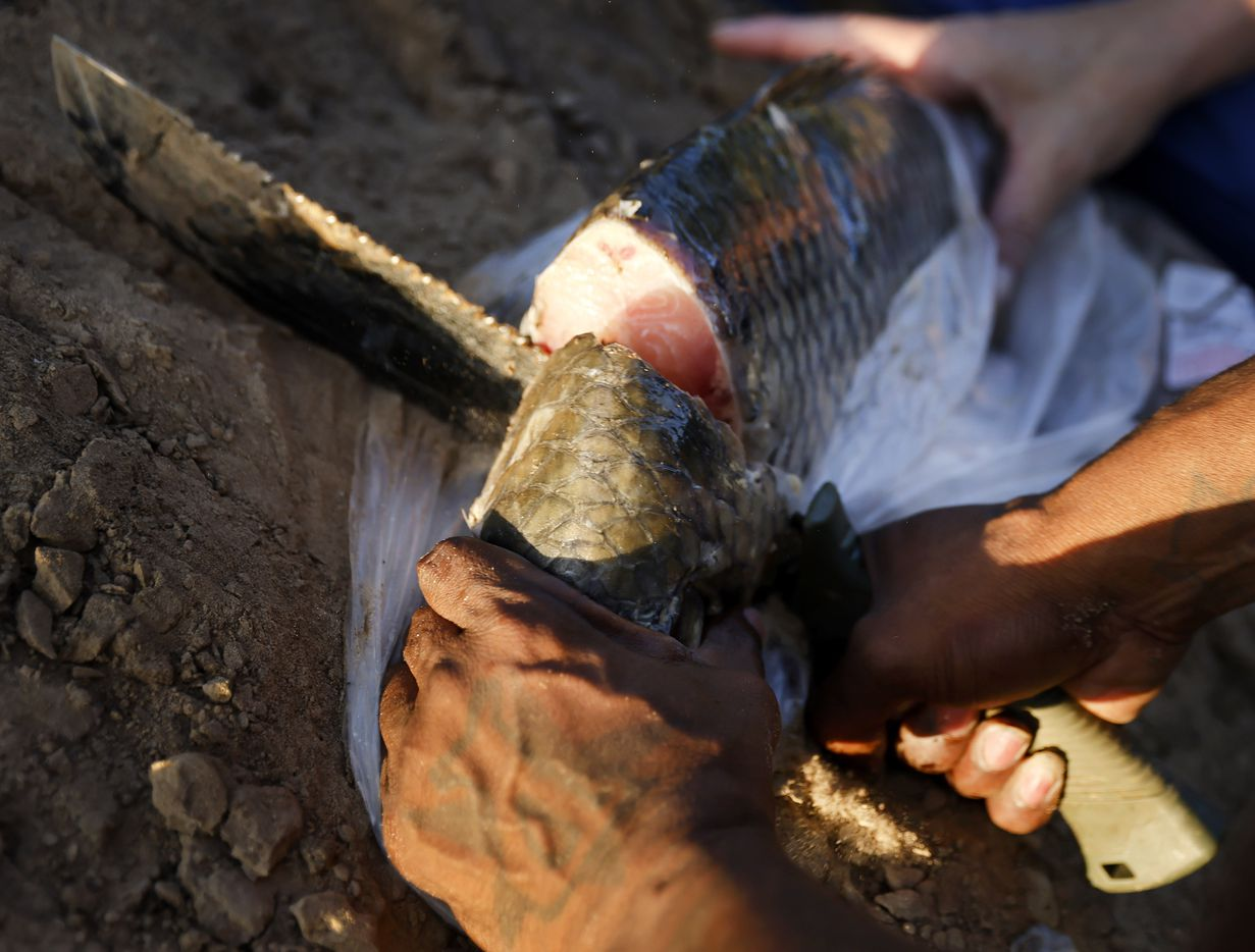 For alligator gar bait, Odell Allen cuts pieces of carp from an Asian grocery store with a machete, Monday, August 30, 2021. (Tom Fox/The Dallas Morning News)