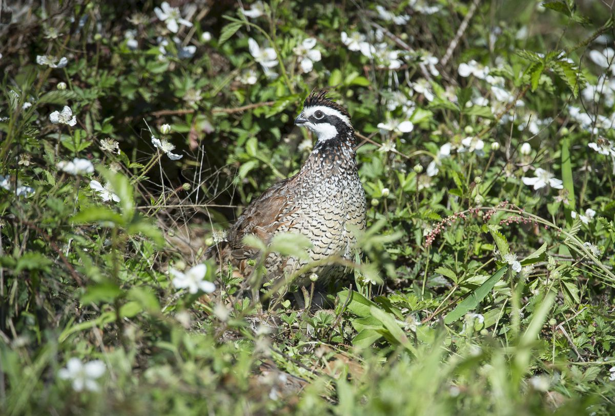 Recent rains have been a boon to quail habitat across the Rolling Plains and South Texas. Only time will tell if the birds are able to pull off a decent hatch.