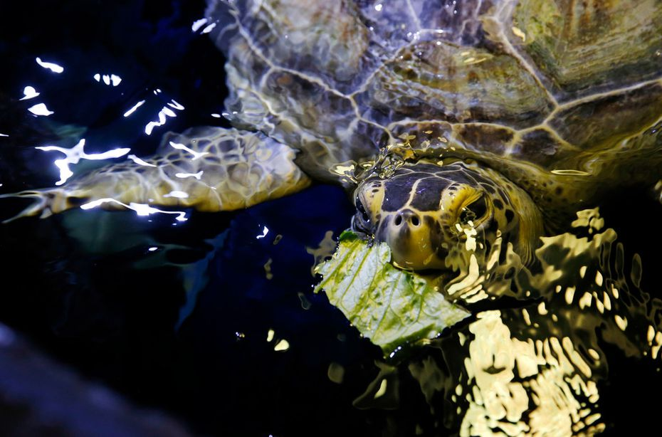 "Boomer, a rescued green sea turtle, munches on a little lettuce at Sea Life Grapevine aquarium. The chubby turtle is known for being affectionate. ""She likes to snuggle,"" says senior aquarist Krista Huebner."