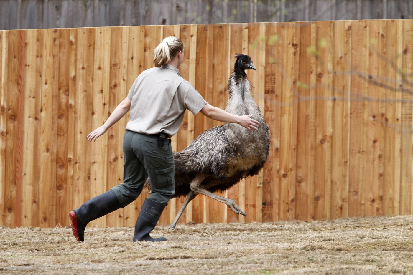 Zookeeper Ashley Orr tries to corral an emu in the Koala Walkabout exhibit which opened March 2012 at the Dallas Zoo