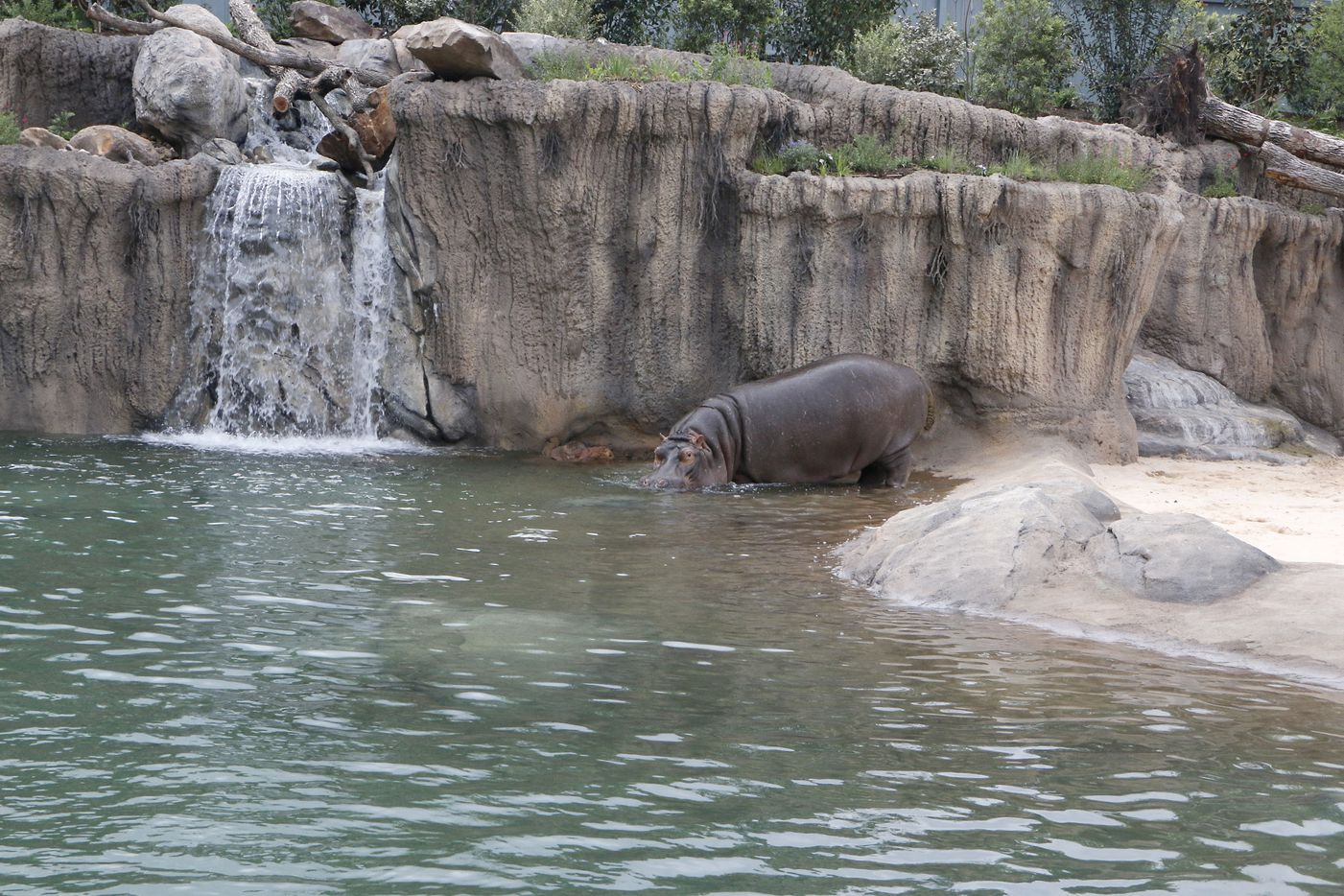 Adhama enters the water off the sandy beach at the Simmons Hippo Outpost at the Dallas Zoo.