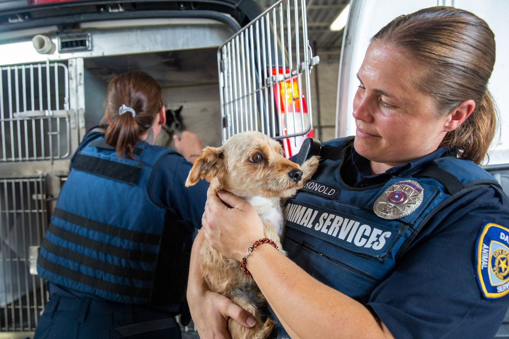 Dallas Animal Services field officer Jacqueline Konold holds one of the loose dogs picked up off the streets in Dallas Thursday.