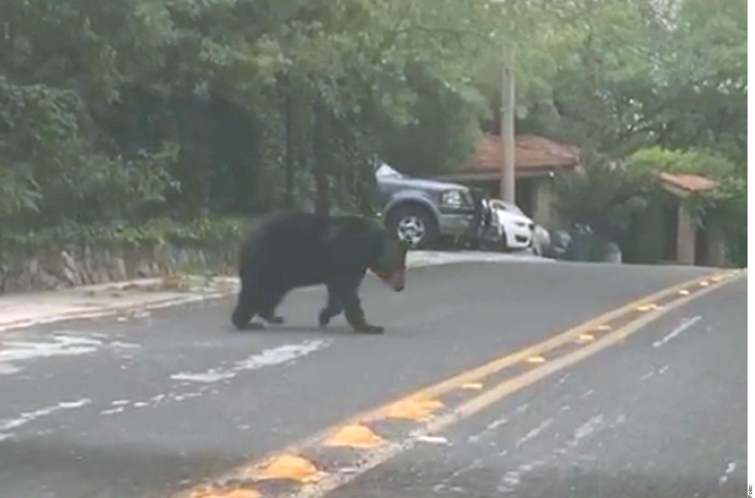 Vecinos de San Pedro y de Monterrey reportan avistamientos de osos en la zona de Chipinque y en el Cerro de las Mitras. (Agencia Reforma)