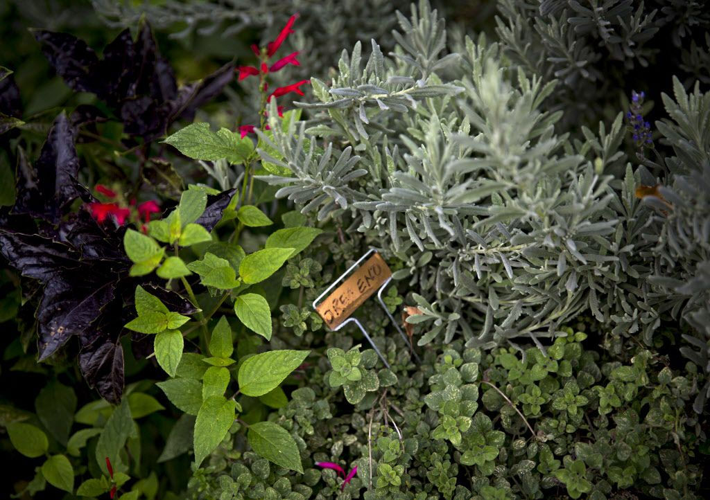 Herbs grow thick in the garden at chef Kent Rathbun's home Wednesday, November 11, 2015 in Dallas. (G.J. McCarthy/The Dallas Morning News)