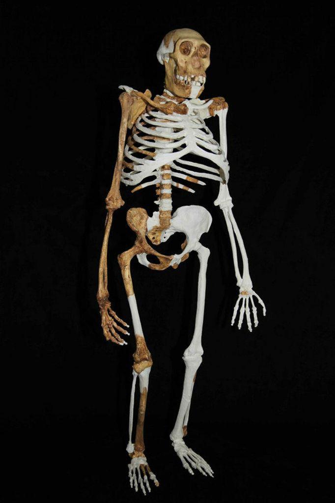 The Australopithecus sediba stands bipedally.