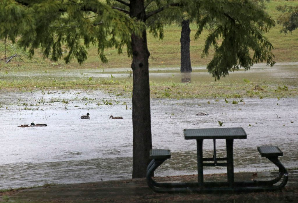 Ducks swim in the rain water at RP Brooks Park off of Mwrriman Parkway in northeast Dallas as the rain continues on Monday, October 15, 2018.