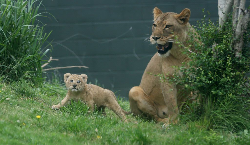 Bahati, a lion cub, makes her public debut with her mother Lina nearby at the Dallas Zoo in Dallas Friday May 19, 2017. The cub was joined by her mother Lina and aunt Jasiri. Bahati is the first lion cub born at the zoo in 43 years. She was born weighting nearly 3 pounds on March 17 and she is now 13 pounds.