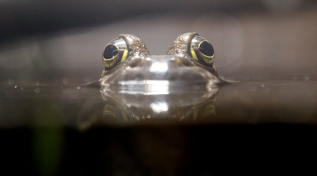 A bullfrog peers above the water in a display at the Trinity River Audubon Center, where admission is free on the third Thursday of each month.