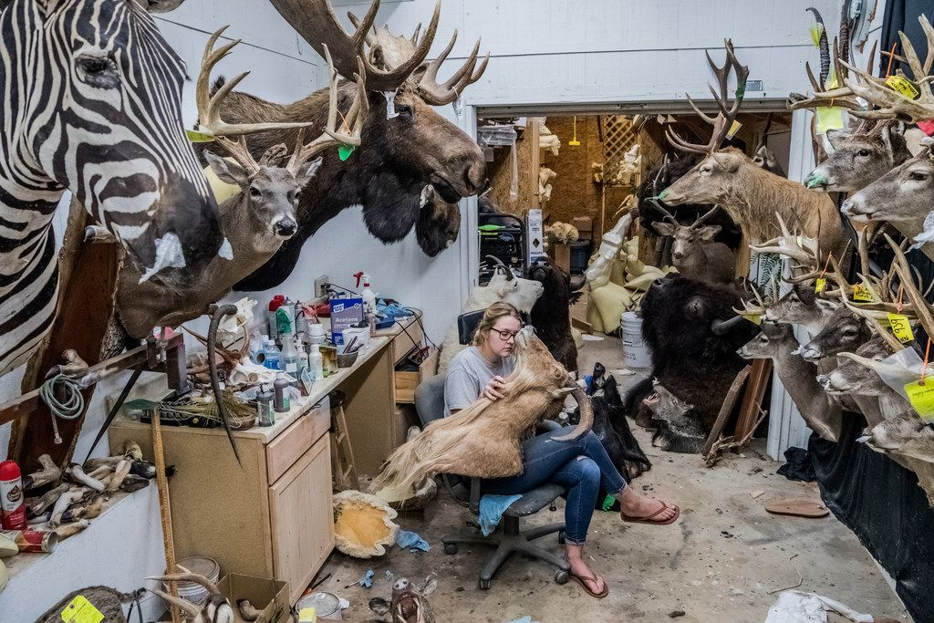Meg Rowland, a newly hired assistant, works on a customer order in the workshop at Graves Taxidermy, where many trophy carcasses from the nearby Ox Ranch are taken, in Uvalde, Texas, Aug. 16, 2017.