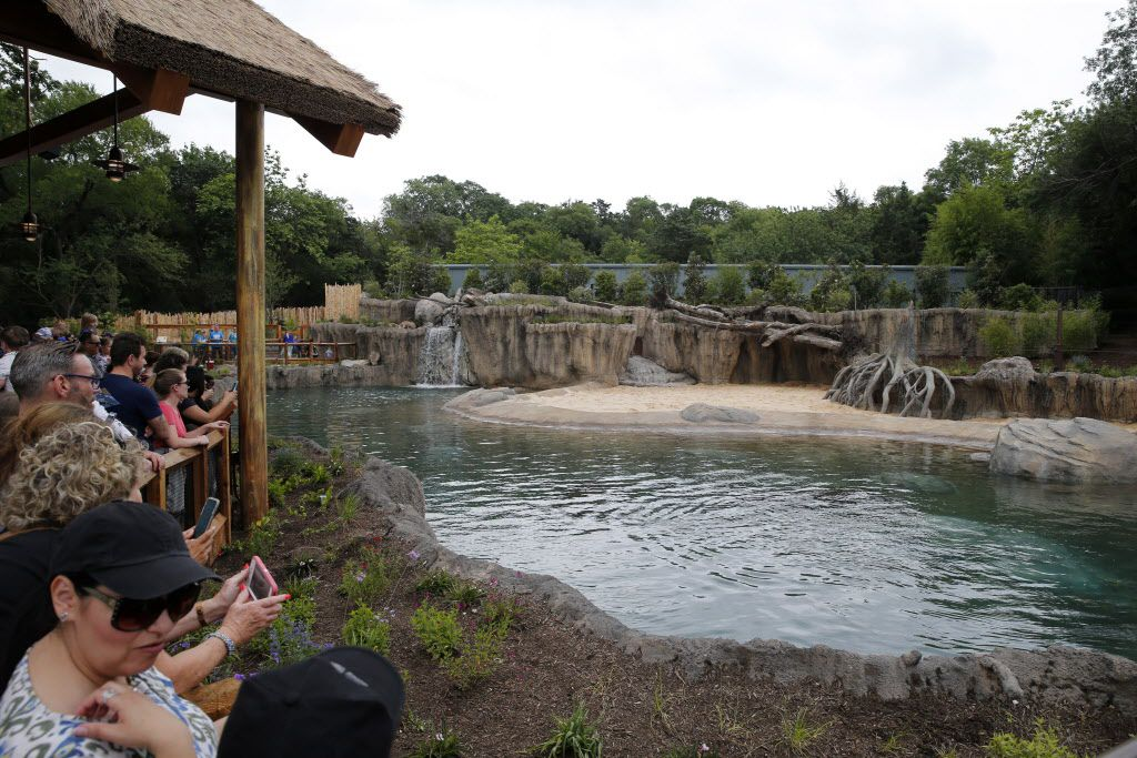 Big hippo pool with Adhama and Boipelo during the grand opening of the Dallas Zoo's hippo exhibit in Dallas on Friday, April 28, 2017. Adhama (male) and Boipelo (female) are the two hippos in the exhibit. This is the first time the zoo has had hippos since 2001 when the last one died. (Vernon Bryant/The Dallas Morning News)