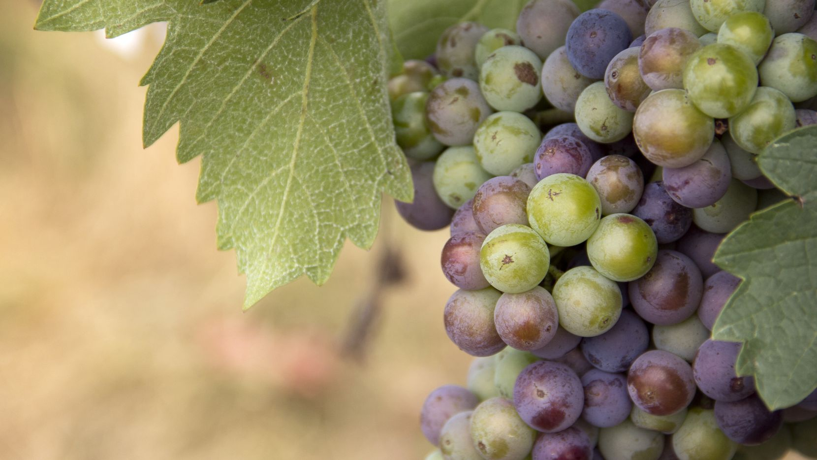 Mourvedre grape at Brennan Vineyards in Comanche Texas
