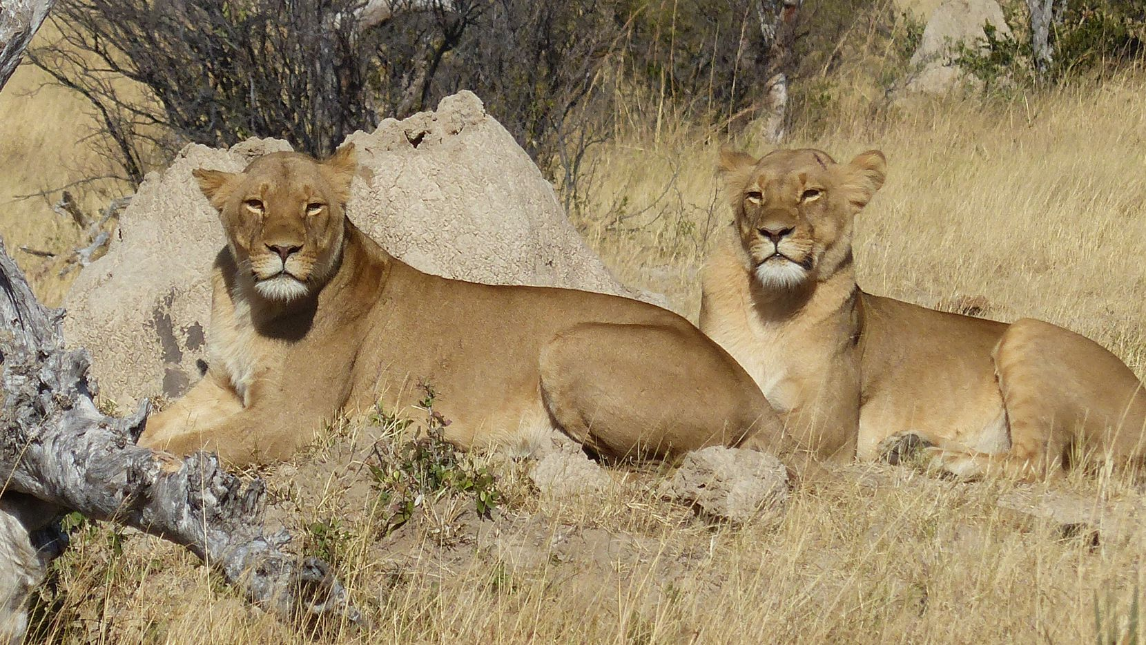 A pair of lions relax in Hwange National Park, Zimbabwe's largest game reserve.