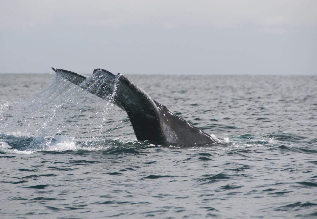 When the whales  dive, their flukes usually come out of the water.
