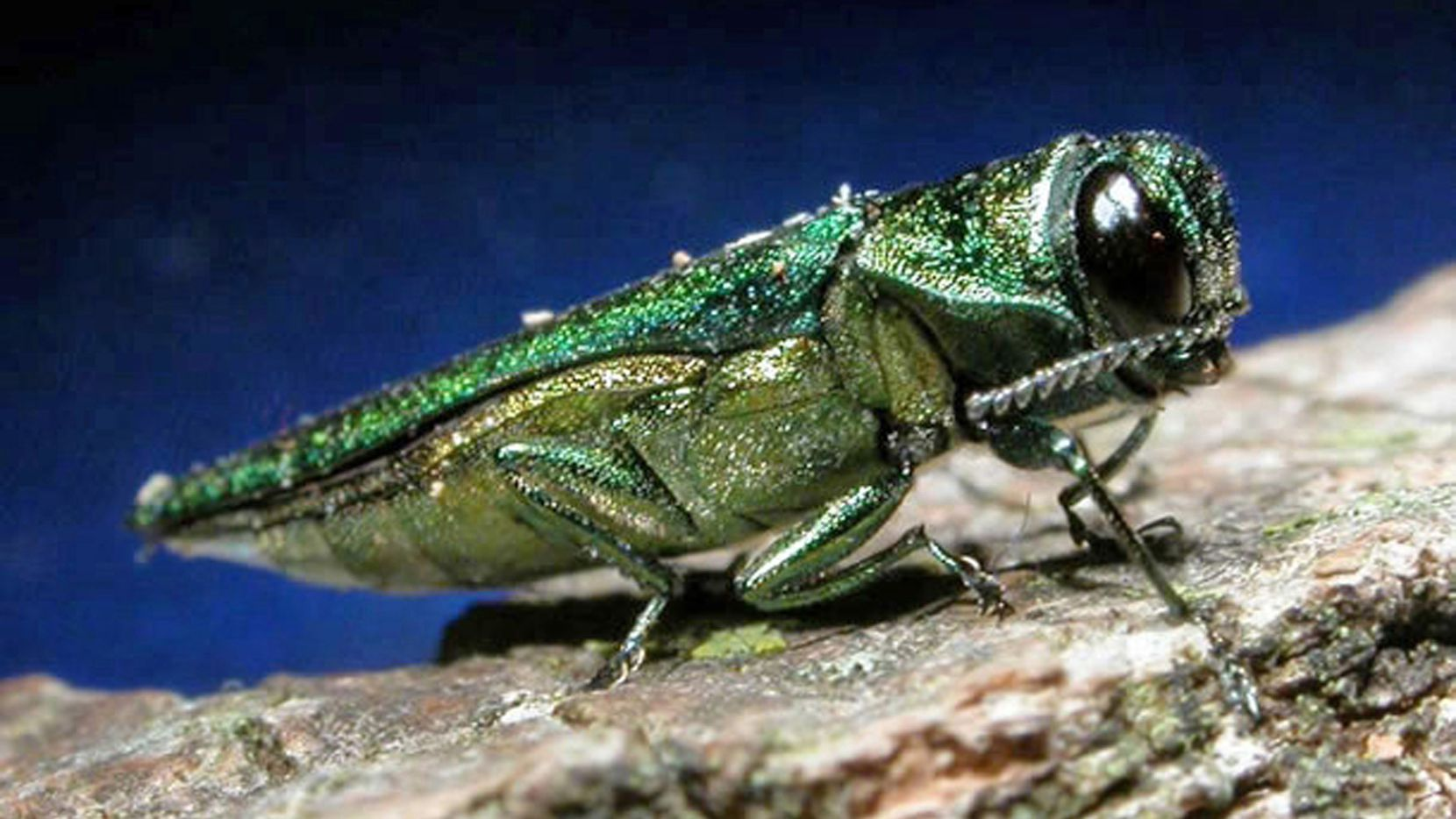 Highly destructive emerald ash borers, which kill ash trees, are metallic green and about 1/2-inch long. (Minnesota Department of Natural Resources)