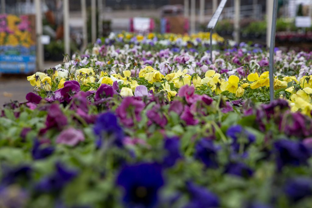 A variety of pansies at North Haven Gardens in north Dallas. The business plans to rebuild before the one-year anniversary of the north Dallas tornado that tore through the area last October.