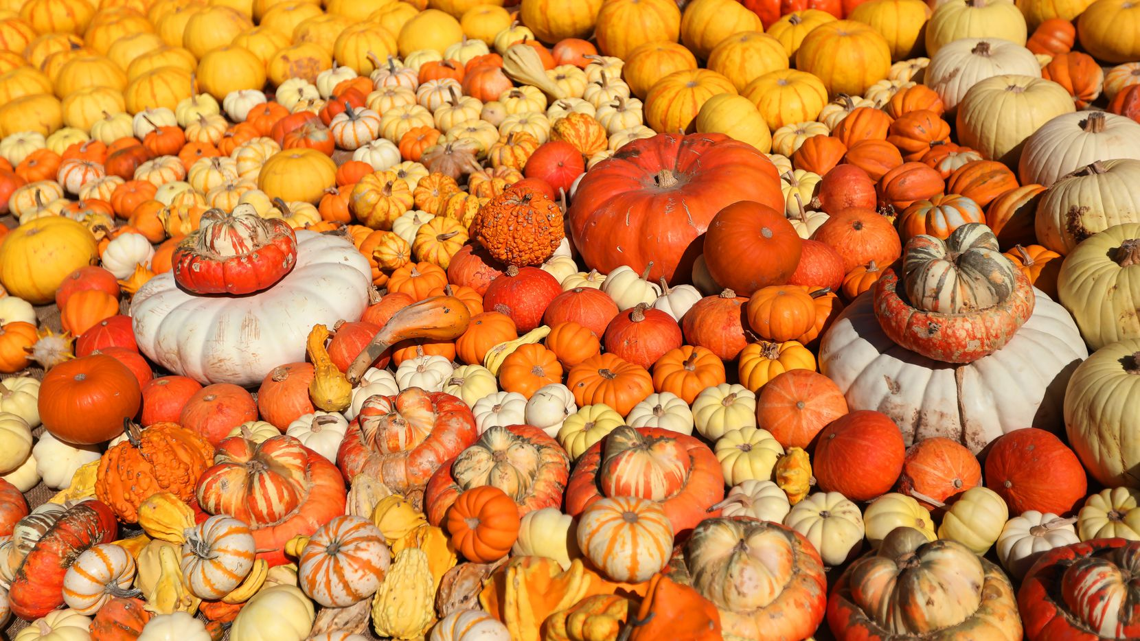 Pumpkins fill the ground at the Dallas Arboretum in Dallas, Texas, Sunday,  October 9, 2021. Allen will celebrate the season on Saturday, Oct. 16 with Harvest Festival at the South Lawn & Plaza at City Hall.