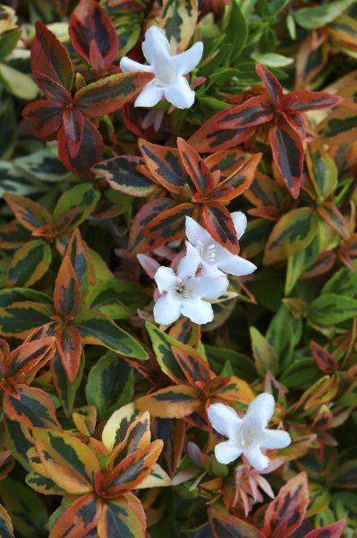 'Bronze Anniversary' abelia in spring color
