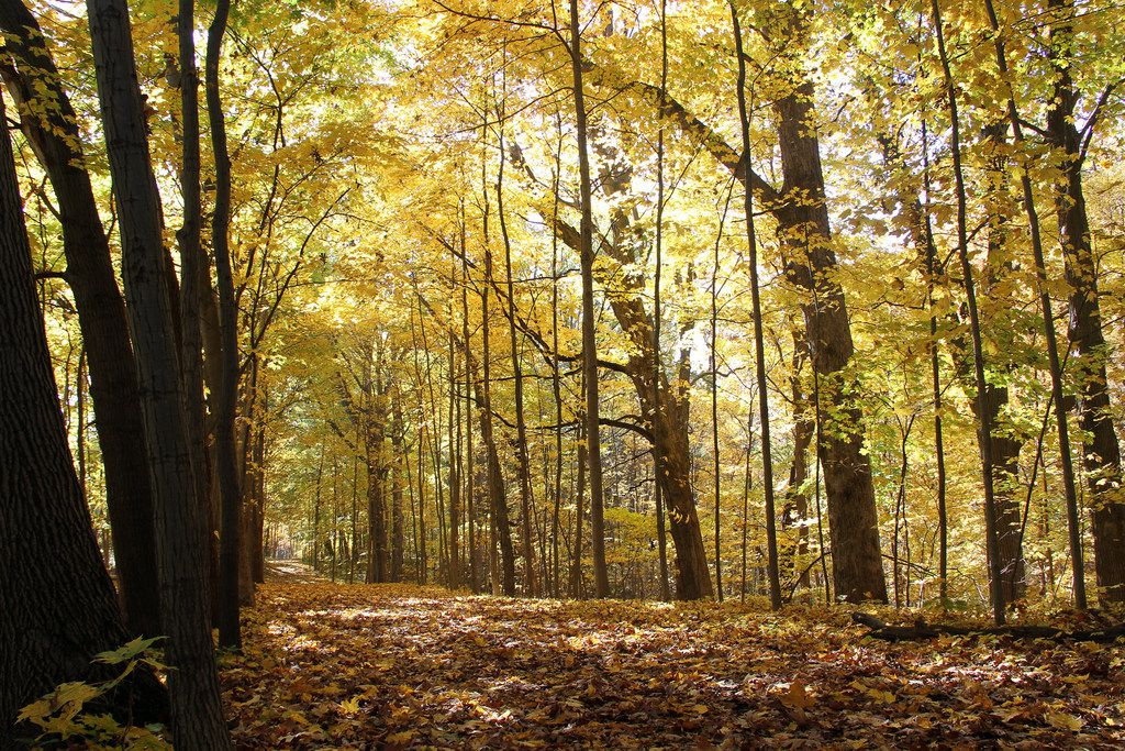 Sugar maples near Chellberg Farm in Indiana Dunes National Park glow with yellow leaves in October.