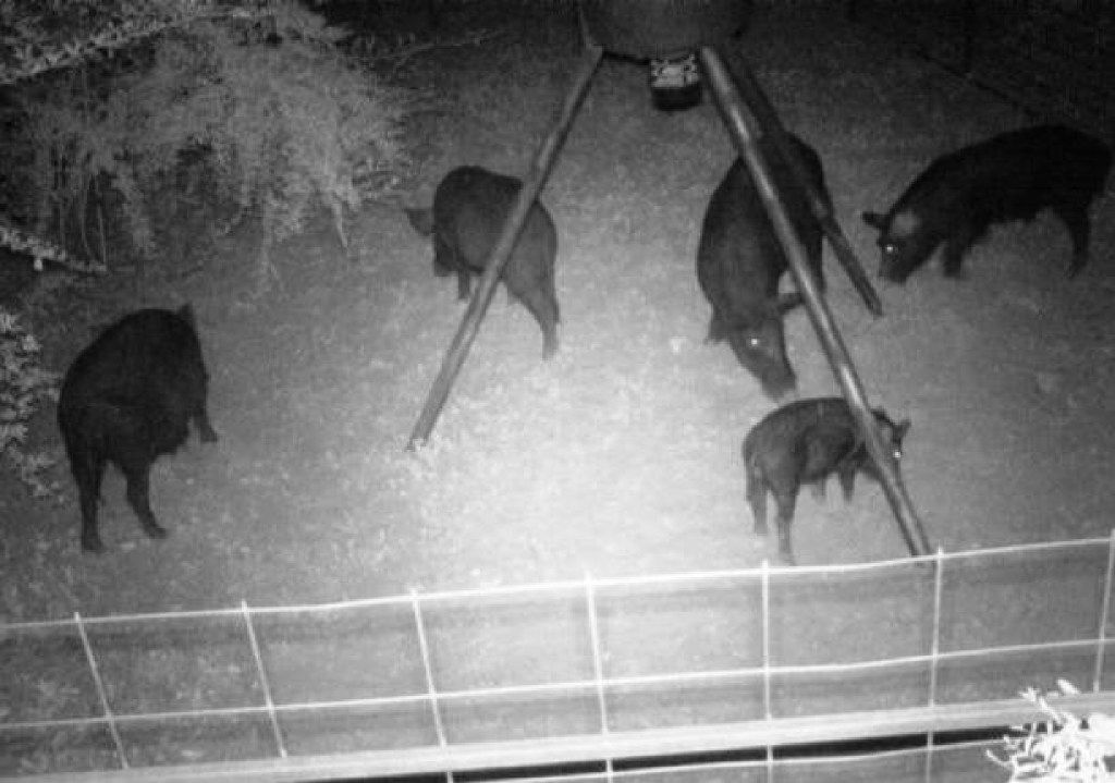 More feral hogs recently trapped as part of the city's pilot program