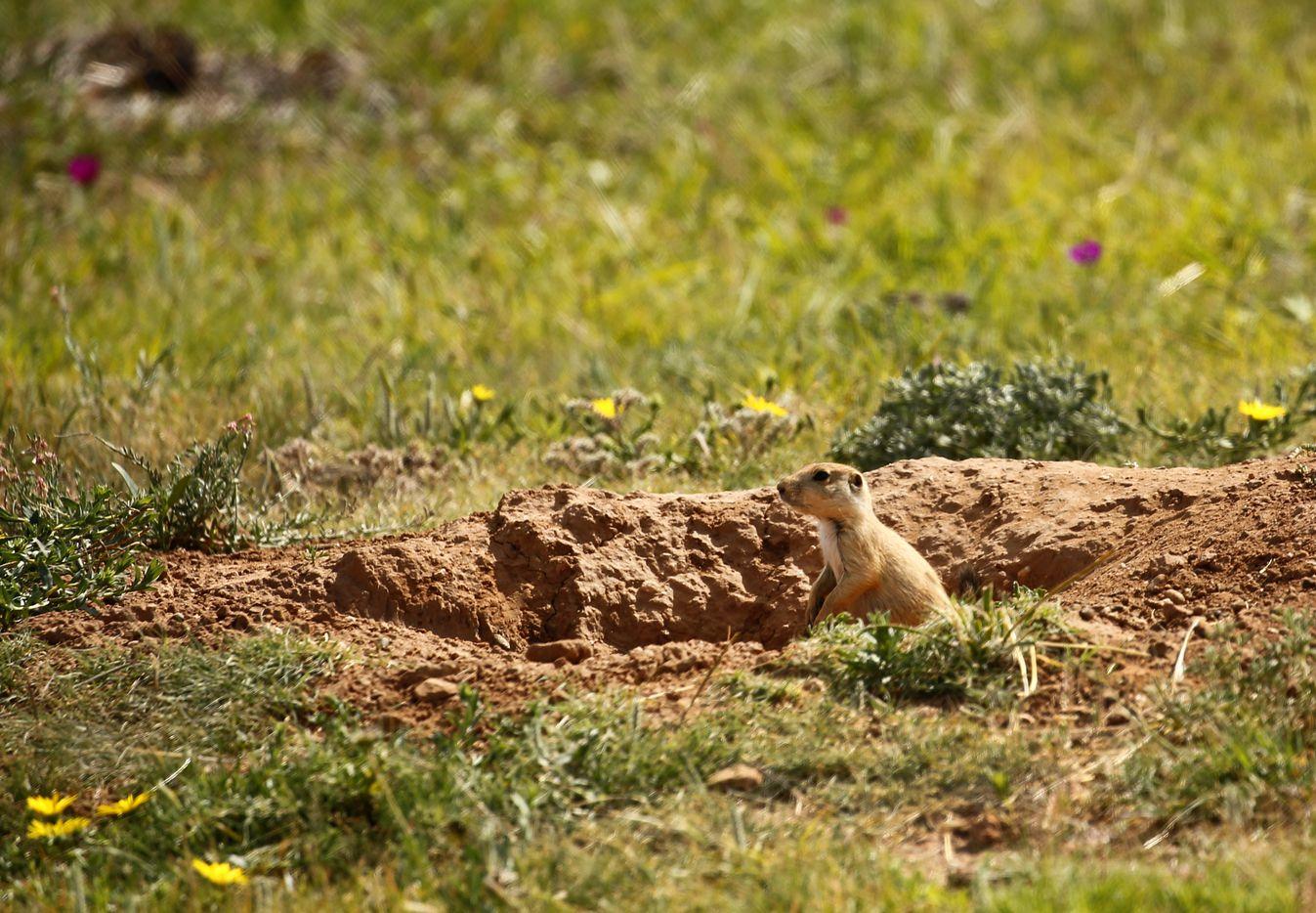 A prairie dog on T. Boone Pickens' Mesa Vista Ranch.