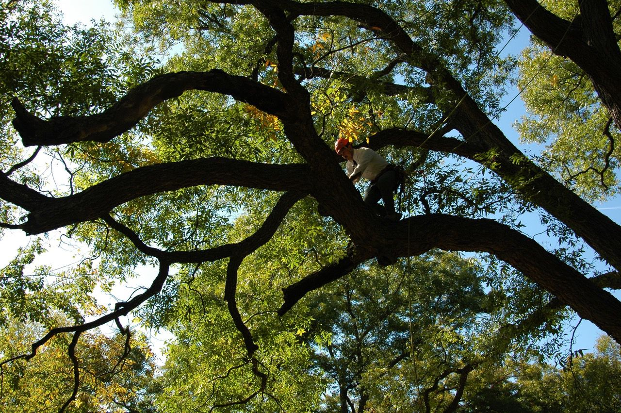 The national champion pecan tree in Weatherford is a sight to behold.