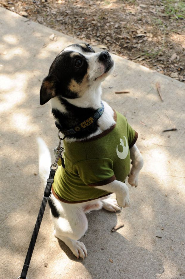 Scrapydoo waits for a treat at the 21st annual Dog Day Afternoon at Flagpole Hill in Dallas, TX on June 6, 2015.
