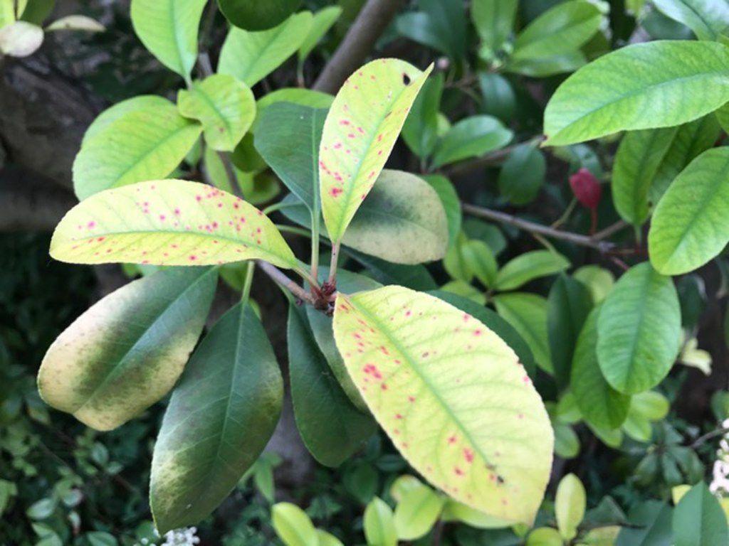 Photinias are susceptible to red tip photinia disease.