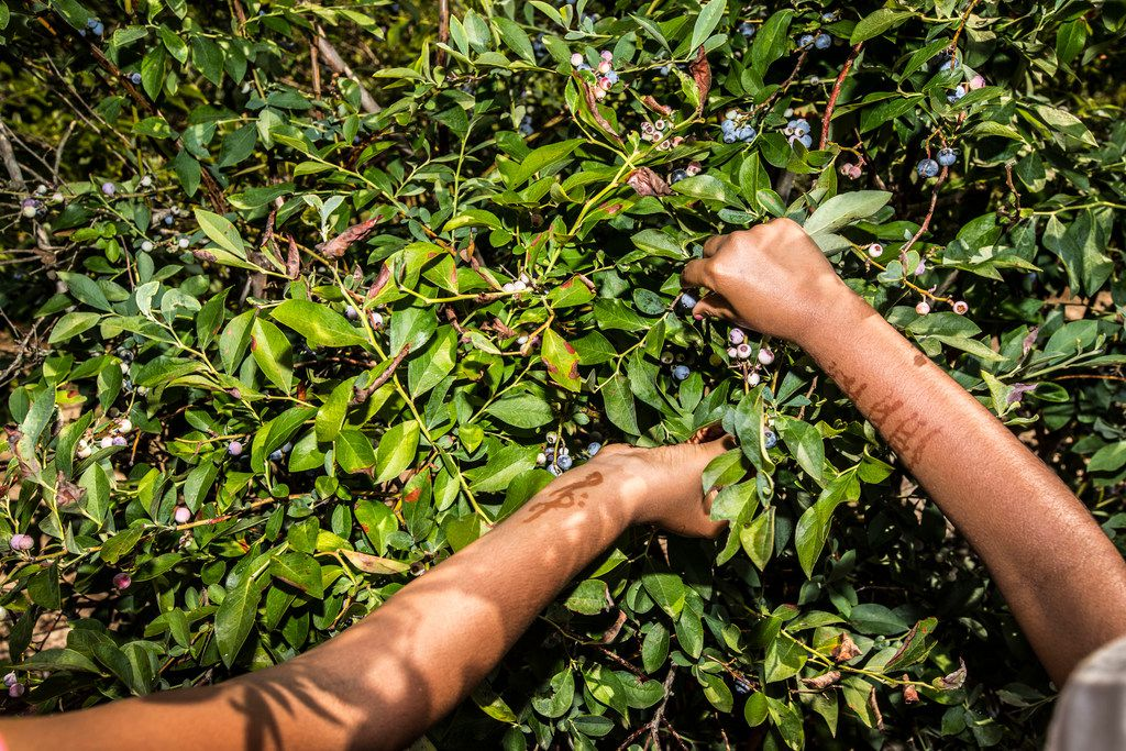 Pritika Madavaram, 10, left, and Vyomini Madhavaram, 6, both of Coppell, Texas, pick berries of a bush at Blueberry Hill Farms.