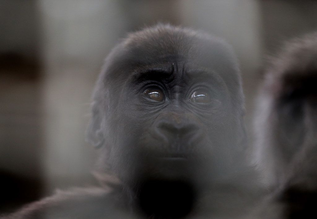 Saambili, a 7-month-old female gorilla, sits with her mother Hope in  a gorilla building at the Dallas Zoo in Dallas on Wednesday, Jan. 30, 2019.