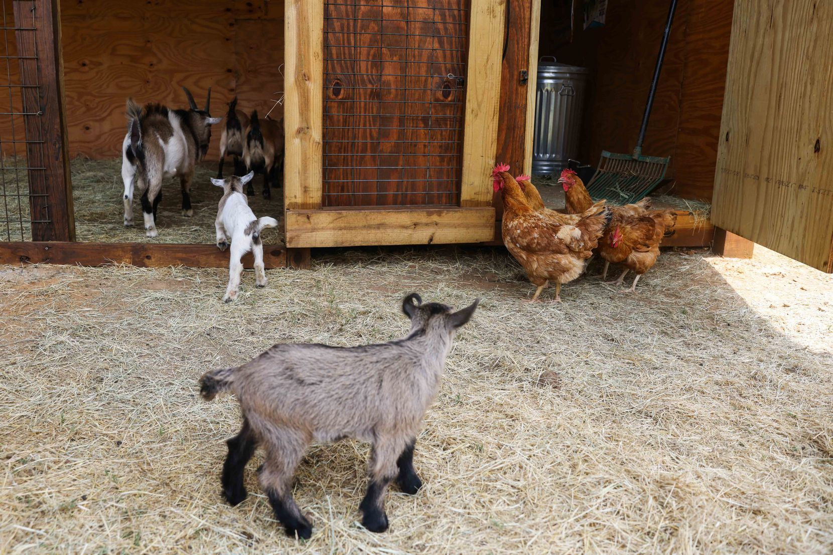 Chickens and goats share the grounds with residents of 29 Acres in Cross Roads.