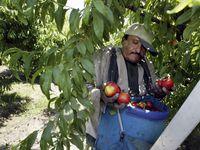 Los trabajadores agrícolas temporales que trabajan en Estados Unidos con visas H-2A podrían obtener la residencia permanente si cumplen ciertos requisitos, de aprobarse la reforma migratoria de Joe Biden.