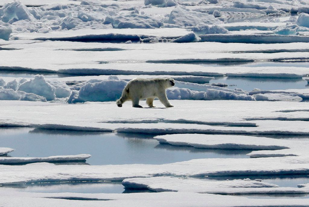 A polar bear walks over sea ice floating in the Victoria Strait in the Canadian Arctic Archipelago.